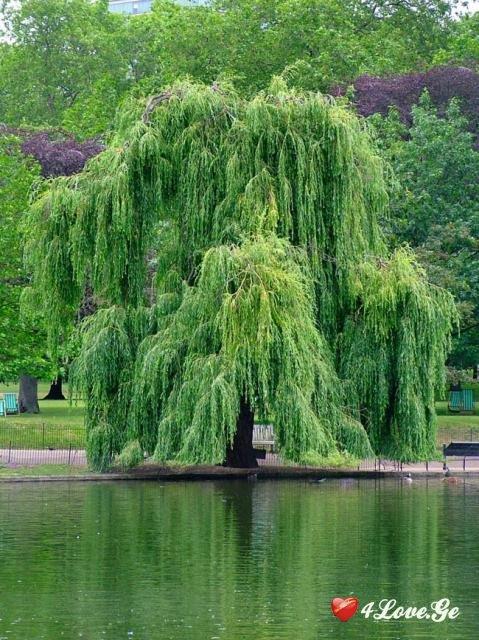 მტირალა ხე