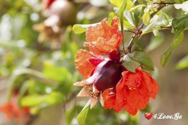 ბროწეულის ყვავილებს