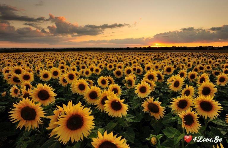 მზესუმზირების სოფელი (სრულად)